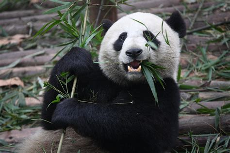 Giant pandas are no longer an endangered species | SBS Science