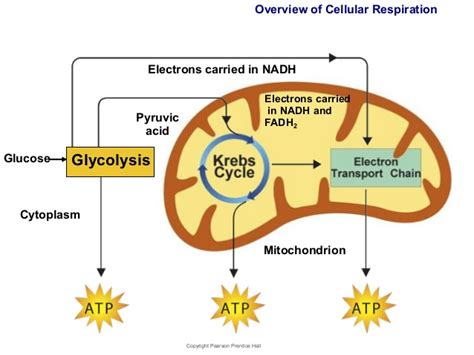 Glycolysis is the first stage of cellular respiration